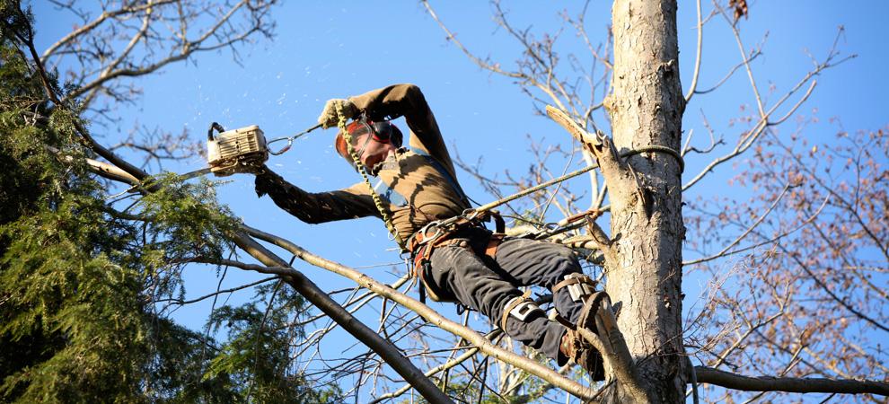 Towson Tree Pruning